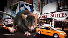 Explosion of new pathogens in NYC rats; 'public health nightmare' unfolding - NaturalNews.com