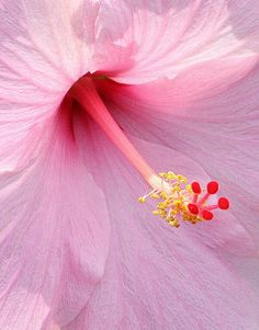 Hibiscus one of my favorite flowers; Hibiscus Flowers, Tropical Flowers, Pretty In Pink, Pink Flowers, Beautiful Flowers, Agaves, Color Rosa, Tropical Garden, Trees To Plant