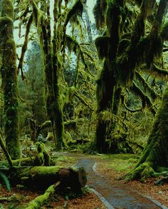 Hoh Rainforest. Olympic National Park - Pacific Northwest