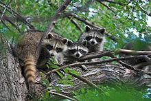 """Raccoon loves to spend his time in trees, there may be a Raccoon in the tree just outside your front door and you'll never know it if you don't see him scampering up to his favorite """"lookout spot""""."""