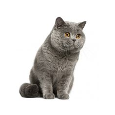 British Shorthair ❤ liked on Polyvore featuring cats