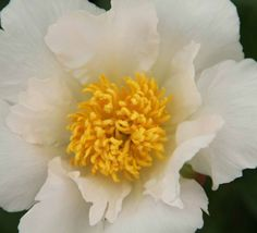 Paeonia 'Krinkled White' (Herbaceous Peony)