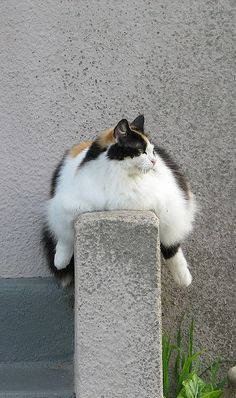 Sumo cat | Flickr - Photo Sharing!