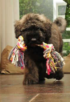 Bouvier des Flandres| Picture from our photo contest with the theme: Bouvier and his Favorite Toy | www.bouvierclub.nl