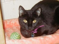 Shalimar is available for adoption from Grateful Paw Cat Shelter in Huntington, New York.