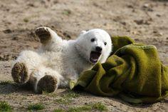 Cachorro de Oso Polar del Zoo de Berlin.