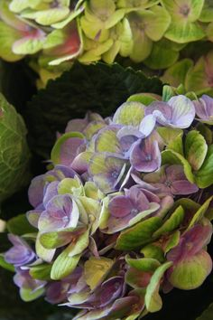 hydrangea Amethyst....i don't usually like hydrangeas but these ones are beautiful!