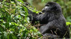 (Foto: Programa Internacional de Conservação de Gorilas - IGCP)