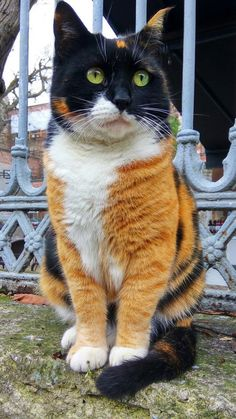 Beautiful markings: The Body of a Tabby the head of a Calico cat