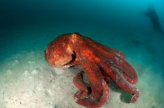Aside from being the largest of all octopuses, the giant Pacific octopus is also recognizable by its typical reddish-pink color. The octopus is equipped with special pigment cells, called chromatophores, just below the surface of the skin that allow it to change color and blend in with rocky or coral-laden surroundings. Octopuses are actually mollusks—their shells are located in the head as two small plates and the rest of their body is soft. Since they lack a protective outer shell…