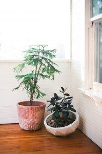 Sweet Norfolk pine and rubber plants.