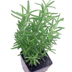 """Rosemary is one of the best know herbs, used when cooking pork or lamb, added to give flavor and aroma to oils and vinegars, and has many other culinary and medicinal uses. It is a member of the mint family, and known by botanists as Rosmarinus officianlis.  Also see: """"How to start a rosemary plant"""" http://gardening.about.com/od/vegetablepatch/a/Rosemary.htm  #herbs #gardening #butterflys #magick"""