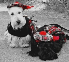 Scottish Terriers sporting their Tartans and Bagpipes:)  Too cute!   Door County Scottie Rally
