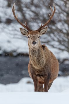 "itsallaboutdreams: "" Red deer in snowy Scotland by Andrew Barton """