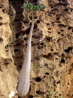 The Socotra Desert Rose or Bottle Tree (Adenium obesum soc… Unusual Plants, Exotic Plants, Cool Plants, Socotra, Cactus, Plant Fungus, Unique Trees, Desert Rose, Beautiful World