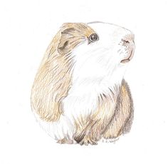 Hey, I found this really awesome Etsy listing at https://www.etsy.com/uk/listing/504344769/guinea-pigs-friend-cute-realistic-pencil