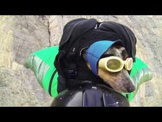 #video World's First Wingsuit BASE Jumping Dog #ff