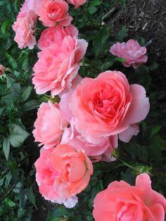 'Passionate Kisses' | Floribunda, Hybrid Tea Rose. Michèle Meilland Richardier, 1998