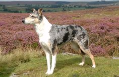Beautiful blue merle smooth collie -- like Willow's mom!