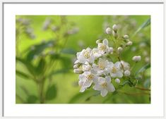 Framed Print featuring the photograph White Blooms Of Slender Deutzia 1 by Jenny Rainbow Art Prints For Home, Fine Art Prints, Framed Prints, Popular Paintings, Off White Color, Hanging Wire, Frame Shop, Art Techniques, Fine Art Photography