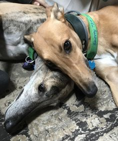 Many Grayhounds dogs suffer from a shelter problem for you to help them Greyhound Art, Italian Greyhound, I Love Dogs, Cute Dogs, Magyar Agar, Animals And Pets, Cute Animals, Grey Hound Dog, Whippets