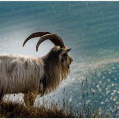 Goat Wallpaper | baby goat wallpaper, goat wallpaper, goat wallpaper 1920x1080, goat wallpaper border, goat wallpaper download, goat wallpaper free download, goat wallpaper iphone, goat wallpapers hd, mountain goat wallpaper, wallpaper goat simulator