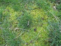 Moss is a common problem for residential lawns in Canada. Find out how to control moss growing in your lawn with moss control services from Nutri-Lawn Clematis, Grass Weeds, Weed Control, Lawn, Herbs, Plants, Climber Plants, Ground Cover Plants, Permaculture