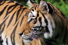 Madonna Tiger | Carolina Tiger Rescue