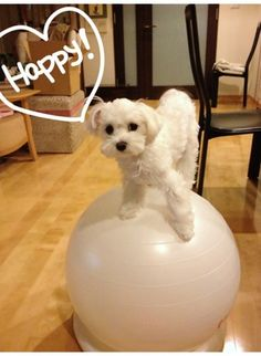 I love the balancing act by this Maltese! Cheers, Yvonne