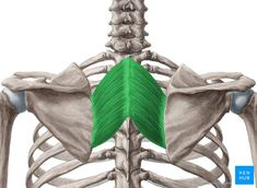 Best Upper Back Exercises, Upper Back Muscles, Gross Anatomy, Human Anatomy, Skeletal Muscle Anatomy, Back Brace For Posture, Head Muscles, Massage, Muscular System