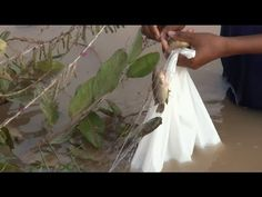 Amazing Cambodia Traditional Net Fishing with NET #21 | Increíble Camboy...