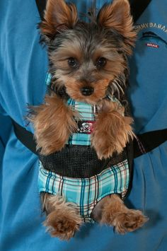 Find out even more info on Yorkshire Terriers. Check out our web site. Yorkies, Yorkie Puppy, Chien Yorkshire Terrier, I Love Dogs, Cute Dogs, Baby Animals, Cute Animals, Yorshire Terrier, Teacup Yorkie