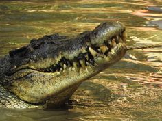 https://flic.kr/p/Px7YrK   4558ex  P900  Never smile at a crocodile   This big bad boy was showing off his own smile at Hartley's Crocodile Adventures, Queensland, Australia.     Check back to my album 2016 Australia, New Zealand and French Polynesia   -- should be posting more ( almost) daily  www.flickr.com/photos/25171569@N02/albums/72157676139226736  www.cameralenscompare.com/photoAwardsCounter.aspx