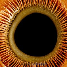 Inner surface of the iris, pupil, and ciliary processes of the human eye. Richard Kessel