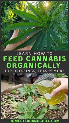 Cannabis Edibles, Cannabis Plant, Weed Plants, Medicinal Plants, Cannabis Cultivation, Compost Tea, Growing Herbs, Growing Weed Indoors, Gardens