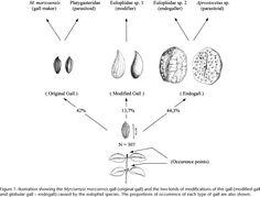 Complex interactions envolving a gall midge Myrciamyia maricaensis ...
