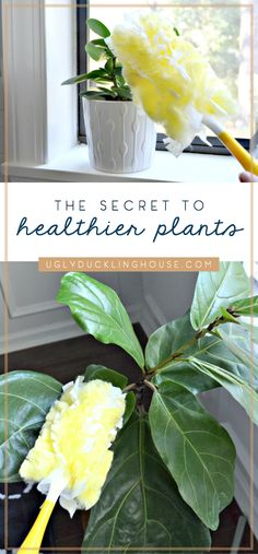 In order to keep houseplants healthy and get bright, shiny leaves, you may need to remember this lesser-known hack to keep your indoor plants at their best! Hydroponic Gardening, Gardening Tips, Indoor Gardening, Hydroponics, Hanging Plants, Indoor Plants, Cactus House Plants, Cactus Decor, Cactus Art