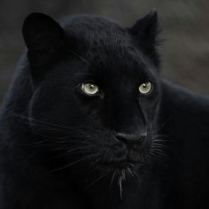 This is our kind of Mystique the melanistic is a striking ambassador for her critically endangered species. Beautiful Cats, Animals Beautiful, Beautiful Pictures, Animals And Pets, Cute Animals, Animals Photos, Black Panther Cat, Le Zoo, Amur Leopard