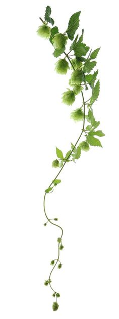 Hops vine is beautiful and delicious, love the trails~ wild hops Unique Plants, Exotic Plants, Hops Vine, Hops Plant, Irish Cottage, Green Life, Shades Of Green, Indoor Plants, Garden Tools
