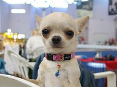 chihuahua listening photo face