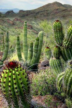 Stenocereus thurberi (Organ pipe cactus)