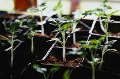 How to Fix Leggy Tomato Seedlings
