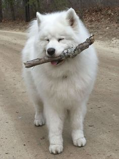 Samoyed.... pretty much the cutest animal alive