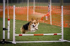 Corgis are good in Agility Pembroke Welsh Corgi, Dog Agility, Dog Show, Working Dogs, Dog Life, Animal Photography, Tao, Amelia, Hummus