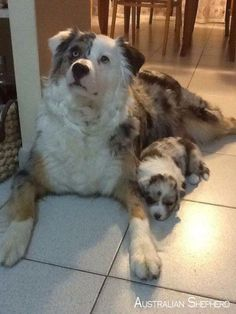 All the things I admire about the Energetic Australian Shepherd Puppies Australian Shepherds, Australian Shepherd Colors, Aussie Shepherd, Australian Shepherd Puppies, Aussie Puppies, Cute Puppies, Cute Dogs, Dogs And Puppies, Blue Merle