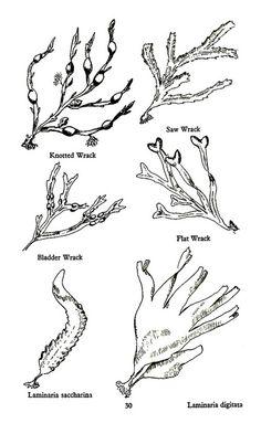 seaweed on Pinterest | Seaweed, Vintage Botanical Prints and ...