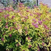 Goldflame Spiraea | Buy online at Nature Hills Nursery