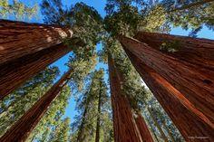 Sequoia forest. - Giant sequoia trees closeup in Sequoia National Park, California.