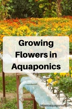 Have you heard of aquaponics? Aquaponics Combines the Growing of Fish and Plants You may grow plants in water and without soil and once one does this together with growing fish you are practicing aquaponics. Aquaponics Plants, Aquaponics System, Hydroponics, Aquaponics Greenhouse, Hydroponic Gardening, Container Gardening, Growing Flowers, Growing Plants, Fish Farming