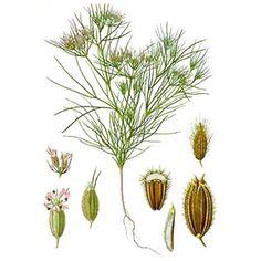 Chémotypes : cuminal, p-menthadiénal / Nom botanique : cuminum cyminum / Origine : Egypte / Partie distillée : fruit